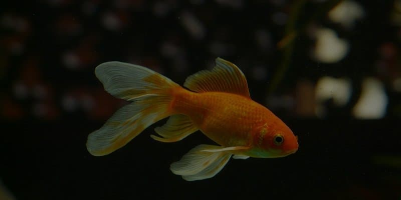 Goldfish Sleeping