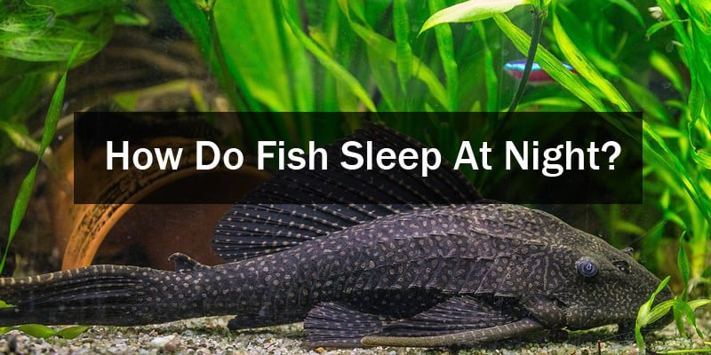 How Do Fish Sleep Night