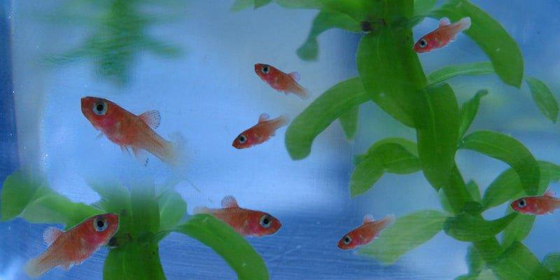 Goldfish Fry