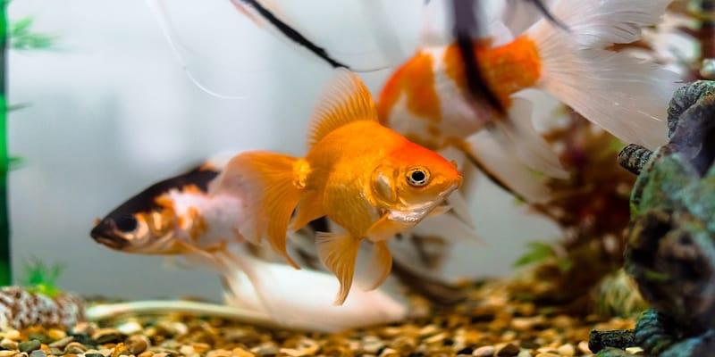 do goldfish need an air pump