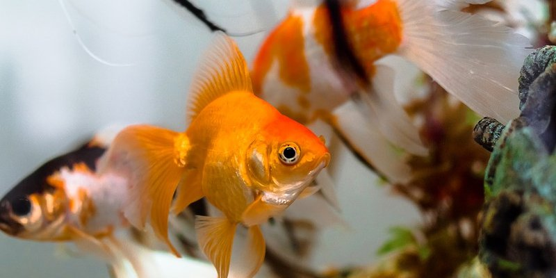 can goldfish bite